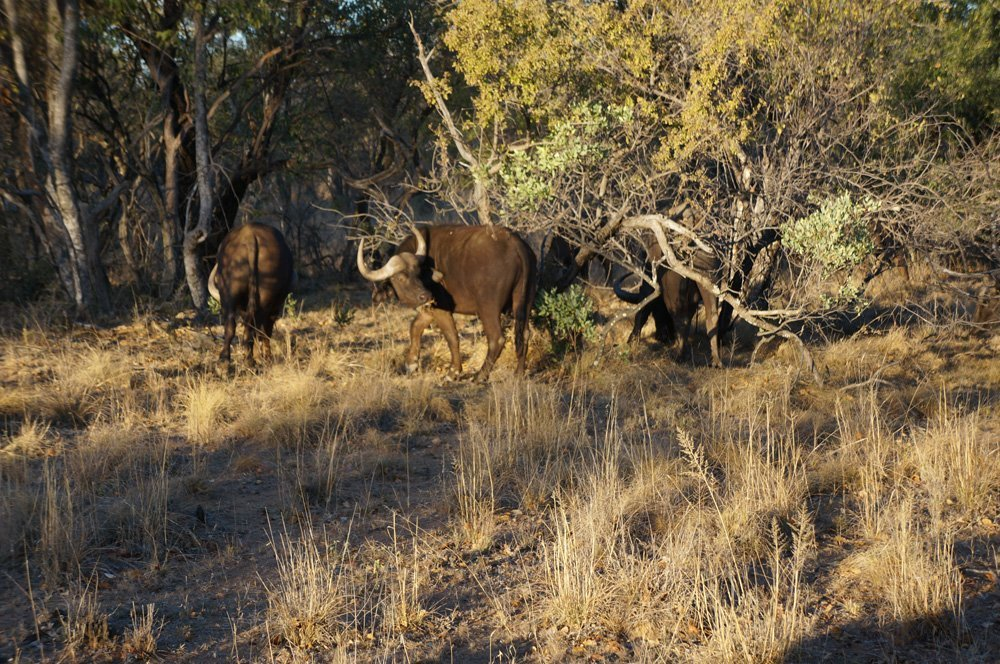 Herd of Cape Buffalo doing their thing.