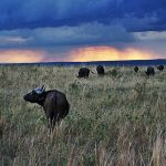 Masai Mara buffalo sunset