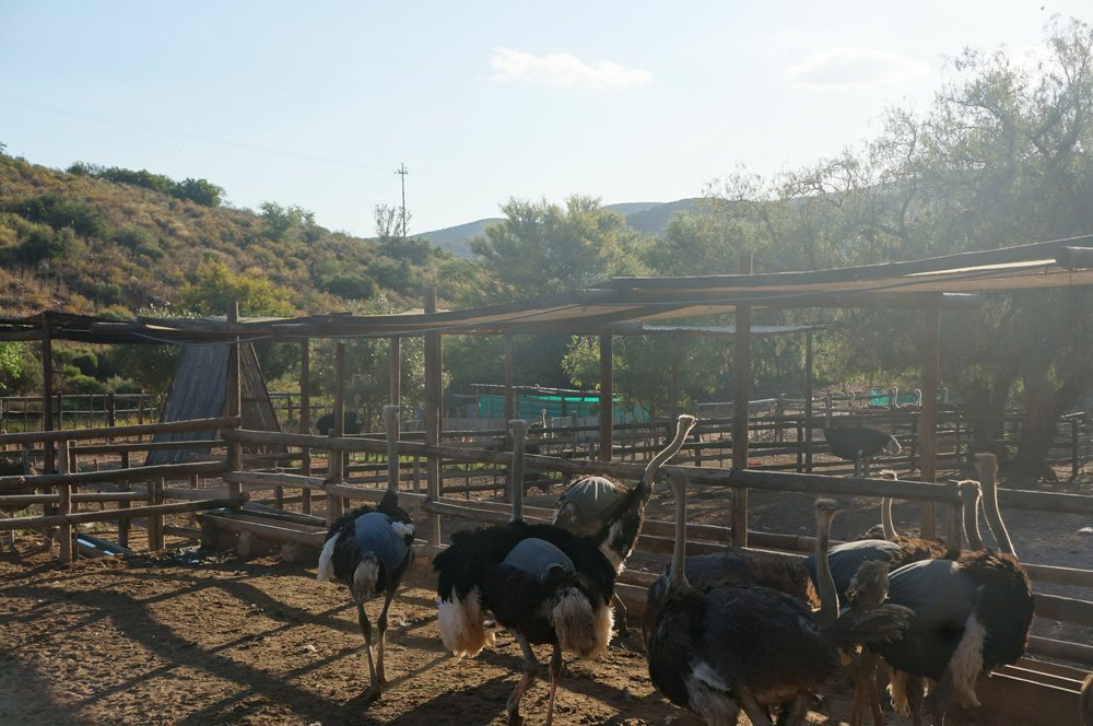 Group of ostriches waiting to be ridden.