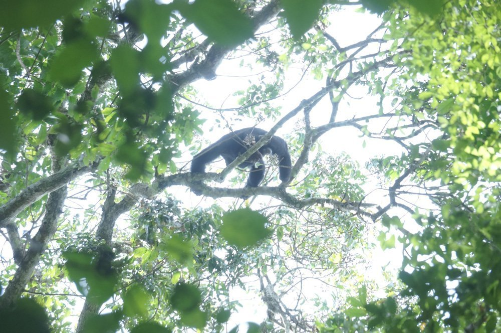 Hard to get this picture but the chimps in the trees all around us.