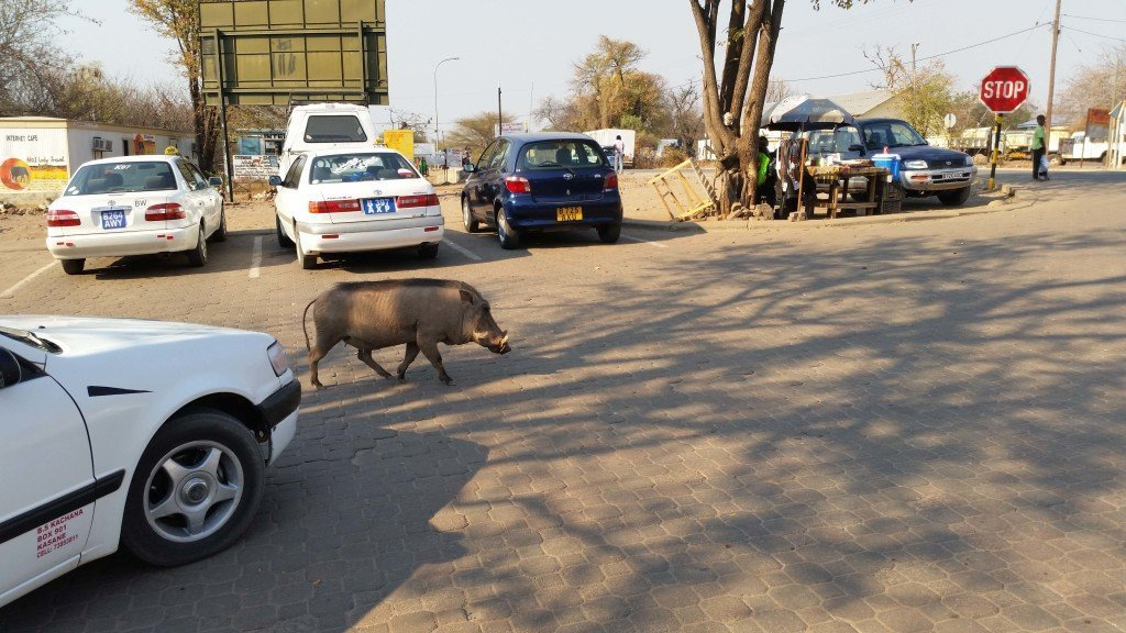 The local warthog being a straight boss as he holds up traffic.
