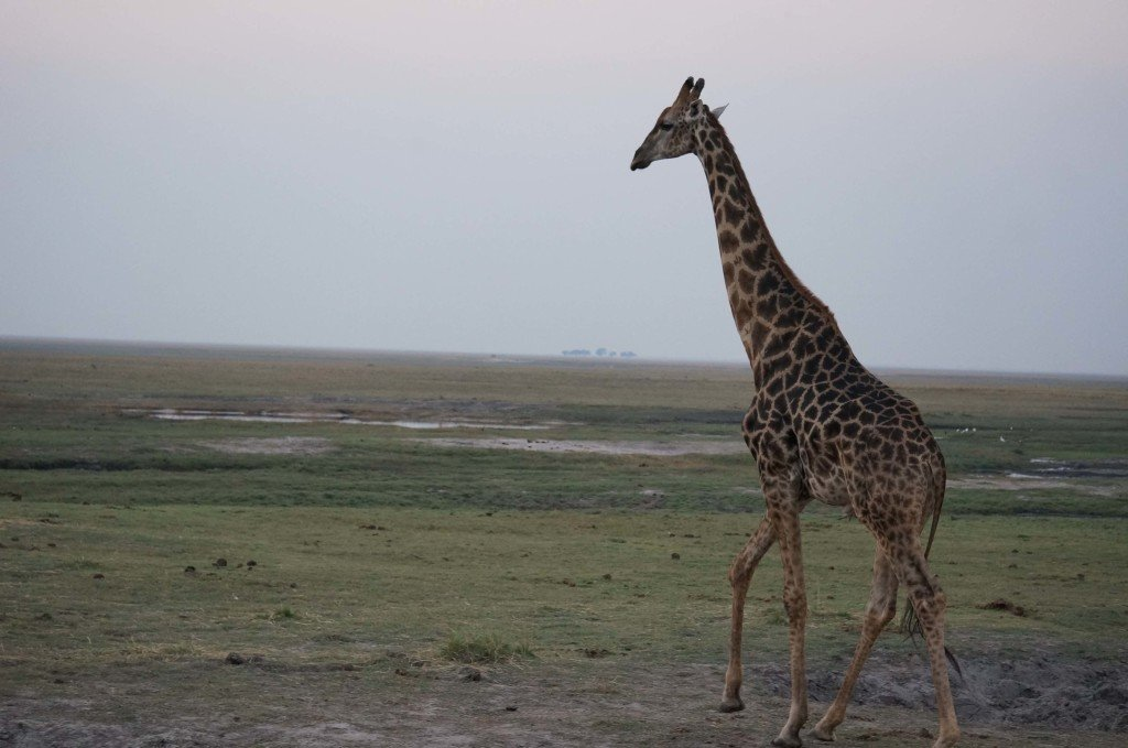 Giraffe walking real close to our vehicle.
