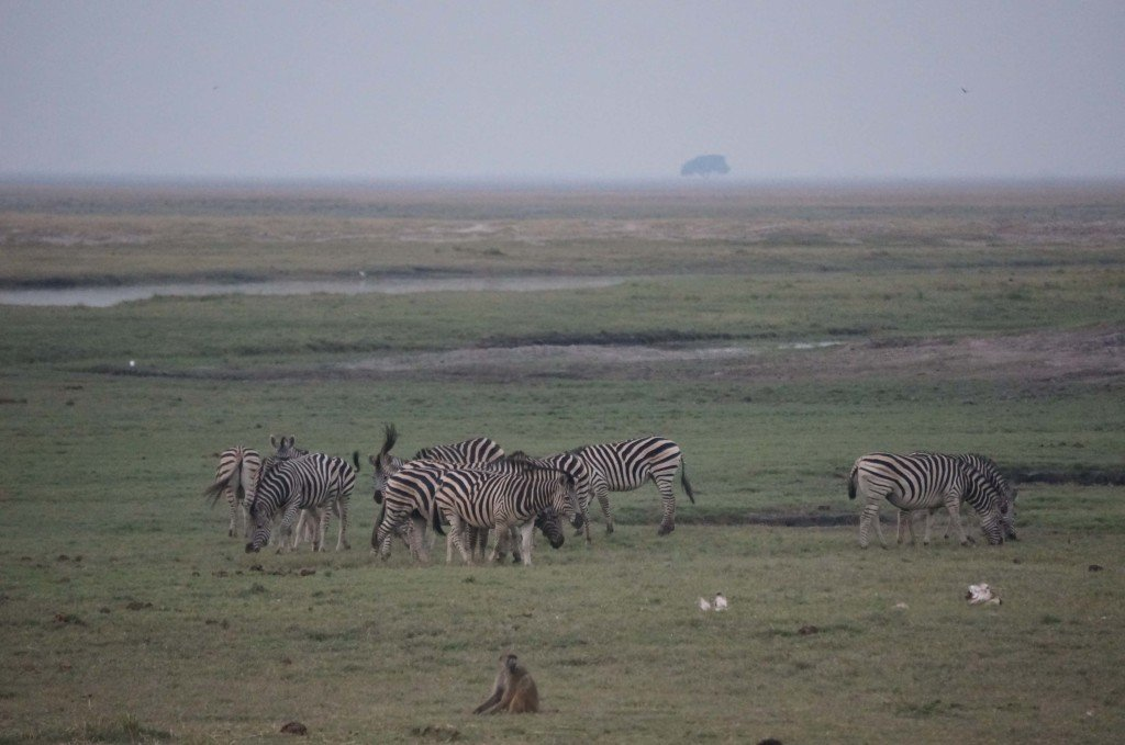 Zebras for a change of scenery.
