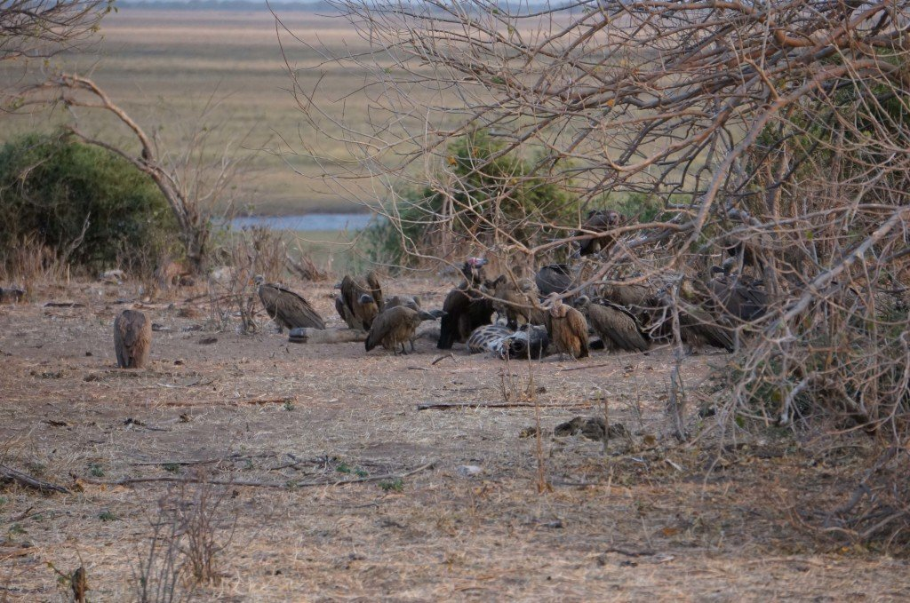 We smelled something terrible on our game drive the previous morning and were told it was potentially a lion kill. Turns out we were right, something was killed and the vultures were feasting the next morning.