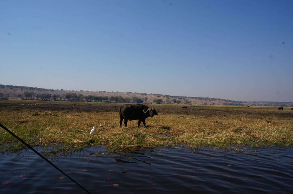 First sighting of the morning, a large water buffalo close to the water.
