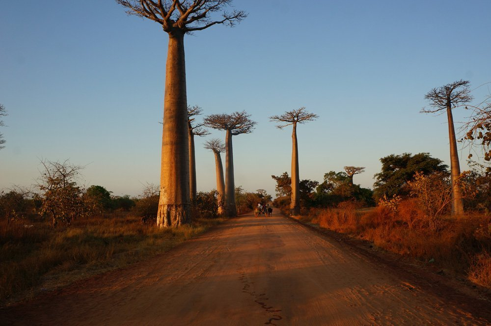 More baobabs