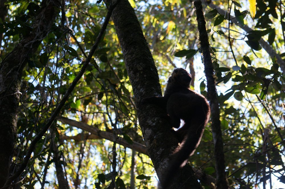 Golden bamboo lemur. Hard to get a good picture through all the foliage.