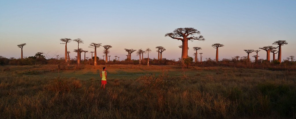 Avenue of the Baobabs sunset