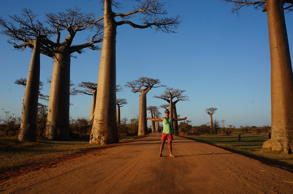 Amazing baobabs in the Avenue of the Baobabs in Morondava Madagascar
