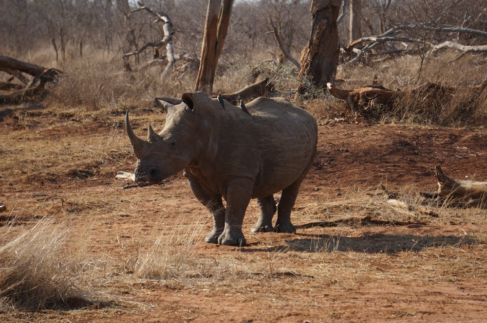 And rhinos too