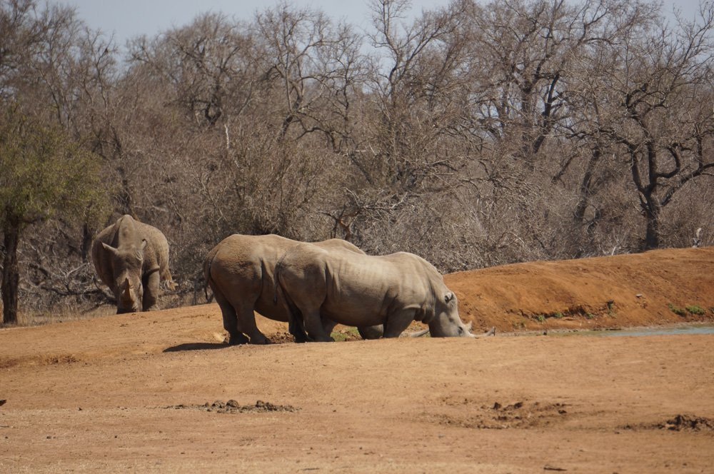 White rhinos are what this park in Swaziland is known for. There are large numbers in this place and is actually the first time I've ever seen a white rhino.