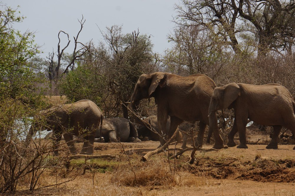Elephants and white rhinos hanging out!