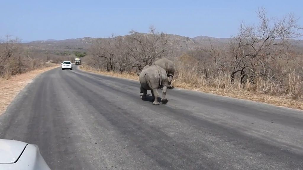 kruger rhino crossing