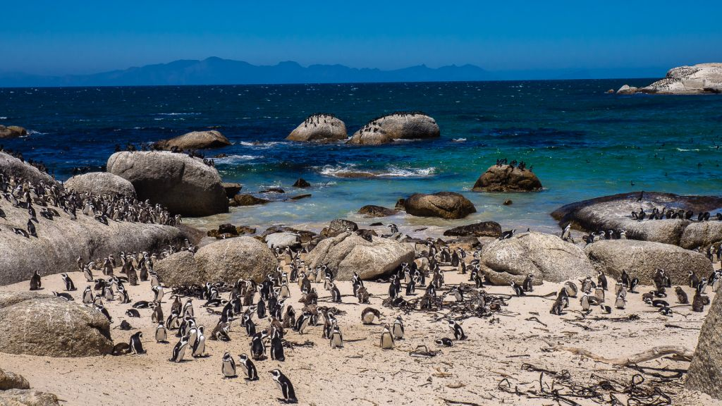 The famous Penguin colony of Boulder's beach!